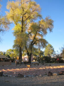 Amazing Trees next to the Labyrinth at Presbyterian Church in Taos, NM.